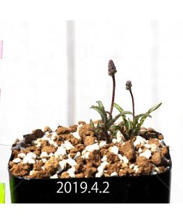 レデボウリア クリスパ 小型 子株 13887