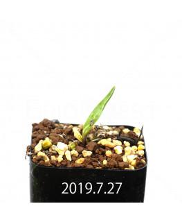 レデボウリア sp. IB13583 子株 13950