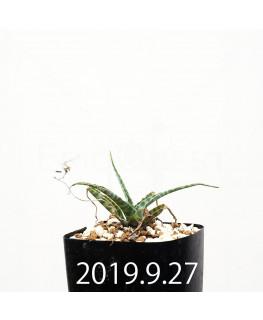 レデボウリア sp. IB13583 子株 13973