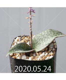 レスノヴァ メガフィラ 実生 14010