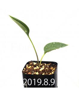 ドリミオプシス アトロプルプレア EQ756 実生 14013