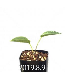 ドリミオプシス アトロプルプレア EQ756 実生 14014