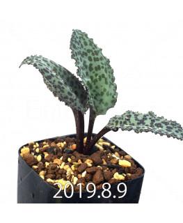 ドリミオプシス ブルケイ EQ737 子株 14139