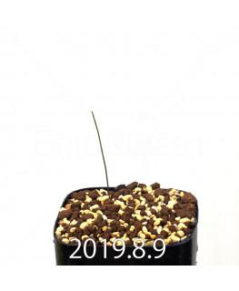 ドリミア イントリカータ ES21689 実生 14151