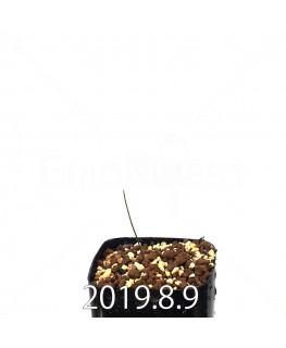 ドリミア イントリカータ ES21689 実生 14161