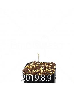 ドリミア イントリカータ ES21689 実生 14162
