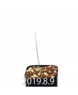 ドリミア イントリカータ ES21689 実生 14163