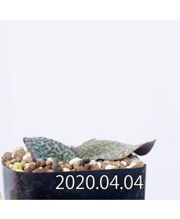 レスノヴァ メガフィラ EQ761 実生 14167