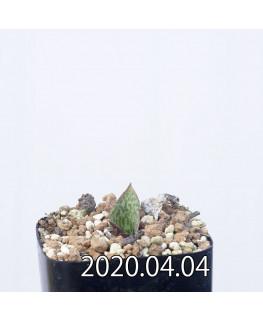 レスノヴァ メガフィラ EQ761 実生 14182