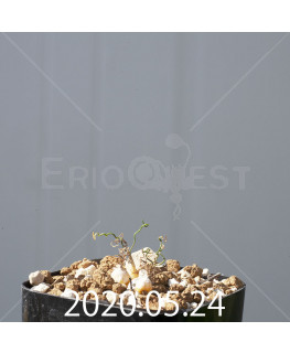 オーニソガラム トルツオスム DMC13646 子株 14591