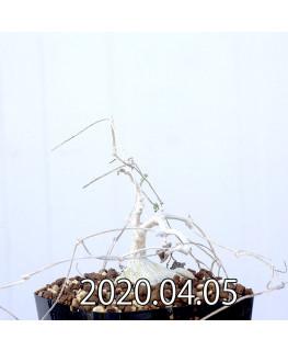 Ibervillea sonorensis イベルビレア ソノレンシス EQ774  14852