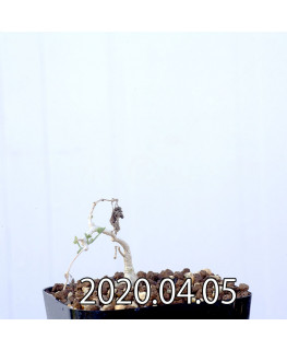 イベルビレア ソノレンシス EQ774 実生 14853