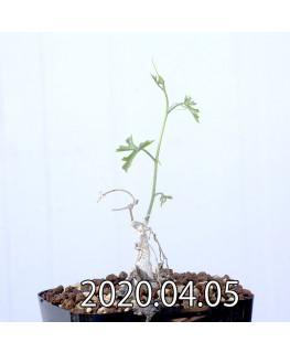 イベルビレア ソノレンシス EQ774 実生 14855
