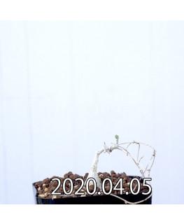 Ibervillea sonorensis イベルビレア ソノレンシス EQ774  14860