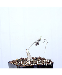 Ibervillea sonorensis イベルビレア ソノレンシス EQ774  14866