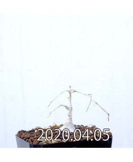 Ibervillea sonorensis イベルビレア ソノレンシス EQ774  14867