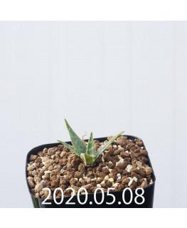 レデボウリア レボルタ JAA1622 実生 14896