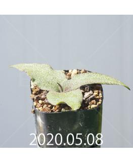 レデボウリア オヴァティフローラ スカブリダ変種 実生 14915