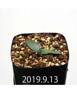 レデボウリア オヴァティフローラ スカブリダ変種 実生 14917