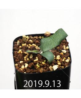 レデボウリア オヴァティフローラ スカブリダ変種 実生 14920