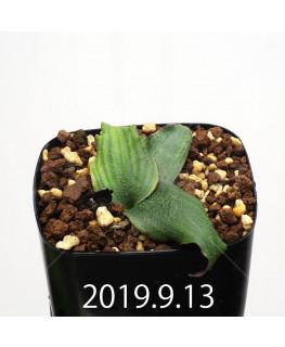 レデボウリア オヴァティフローラ スカブリダ変種 実生 14924
