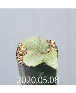 レデボウリア オヴァティフローラ スカブリダ変種 実生 14925