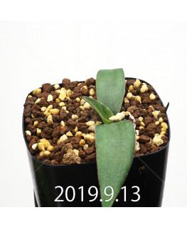 レデボウリア オヴァティフローラ スカブリダ変種 実生 14931