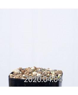 レデボウリア マルギナータ EQ778 実生 14934