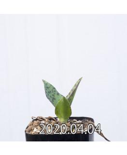レデボウリア レボルタ EQ780 実生 15067