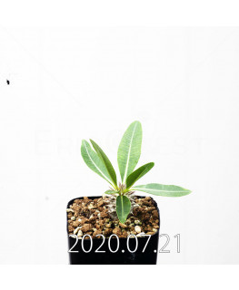 パキポディウム エブレネウム EQ787 実生 15128