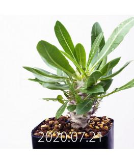 パキポディウム エブレネウム EQ787 実生 15133