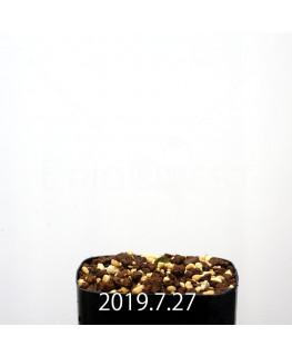 パキポディウム エブレネウム EQ787 実生 15142