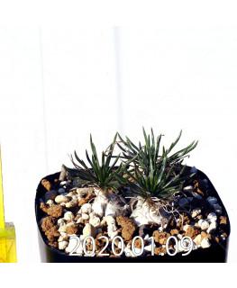 オーニソガラム sp. EQ615 子株 15348