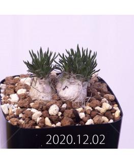 Ornithogalum sp. オーニソガラム 未識別種 EQ615  15352