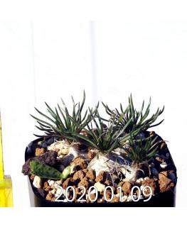 オーニソガラム sp. EQ615 子株 15352