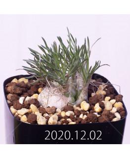 Ornithogalum sp. オーニソガラム 未識別種 EQ615  15367
