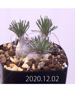 Ornithogalum sp. オーニソガラム 未識別種 EQ615  15368