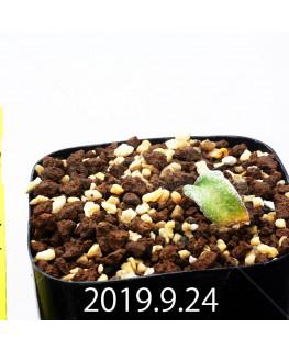 エリオスペルマム ドレゲイ IB13772 実生 15681