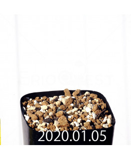 エリオスペルマム ドレゲイ IB13772 実生 15686