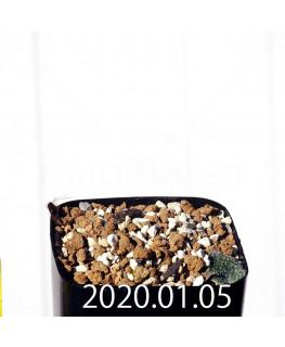 エリオスペルマム ドレゲイ IB13772 実生 15691