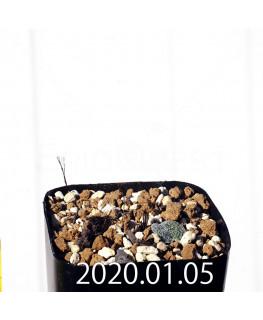 エリオスペルマム ドレゲイ IB13772 実生 15694
