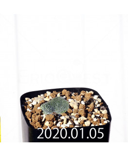 エリオスペルマム ドレゲイ IB13772 実生 15696