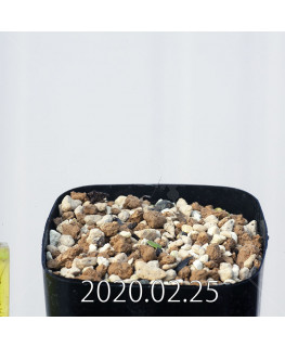 エリオスペルマム ドレゲイ IB13772 実生 15719