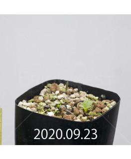 エリオスペルマム アペンデクラツム EQ807 実生 15730