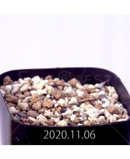 エリオスペルマム アペンデクラツム EQ807 実生 15754