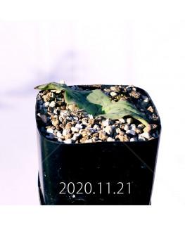 ラケナリア ネルボーサ JAA1448 実生 16287