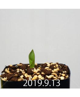ラケナリア ネルボーサ JAA1448 実生 16294