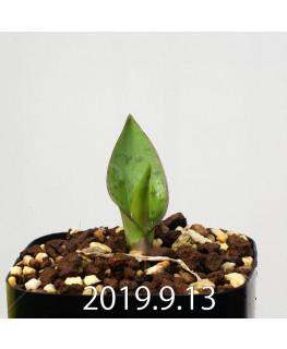 ラケナリア ネルボーサ JAA1448 実生 16306