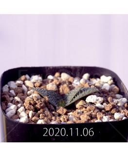 Massonia pygmaea マッソニア ピグマエア EQ812  16653