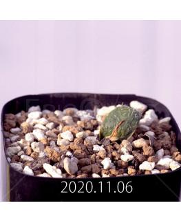 Massonia pygmaea マッソニア ピグマエア EQ812  16654